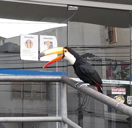 Tucano na porta da agência do INSS no centro de Lafaiete