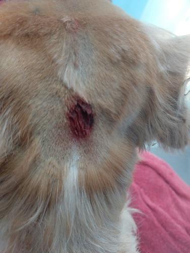 Ferimento em um dos cães atacados